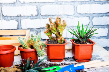 cactus in a pot, flower transplantation, home gardening