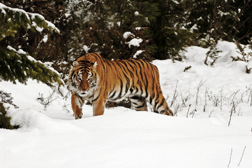 Wall Mural - Prowling Tiger in Snow
