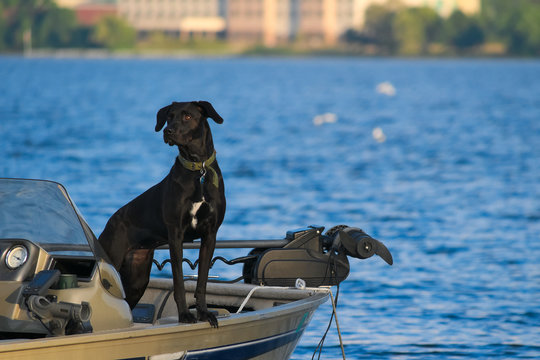 Black lab dog checking out the lake view from fishing boat on Lake Bemidji in Minnesota