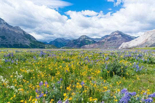 Wildflower Meadow in Waterton Lakes National Park, Canada