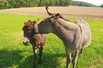 two donkeys on a pasture