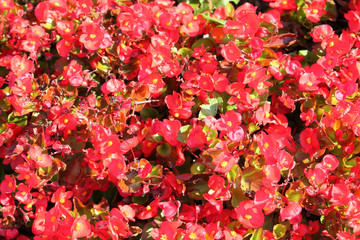 Wax or Bedding Begonia (Begonia semperflorens) with bright red flowers on flowerbed