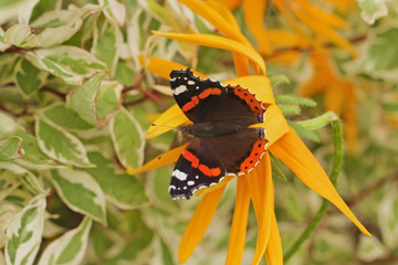 Butterfly Red Admiral (Vanessa atalanta) with open wings, closeup. Butterfly with orange bands on yellow flower. View from above.
