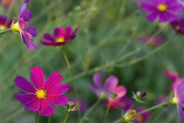 Beautiful flowers of the cosmos  in the garden.