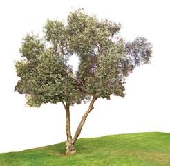 Olive tree on white background