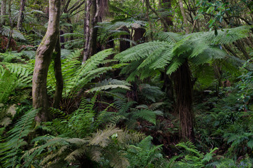 Rainforest with golden tree fern (Dicksonia fibrosa) to the right. Taieri River Scenic Reserve. Otago. South Island. New Zealand.