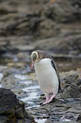 Yellow eyed penguin (Megadyptes antipodes). Curio Bay. Southland. South Island. New Zealand.
