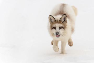 Red Marble Fox (Vulpes vulpes) Runs Forward Tail Down