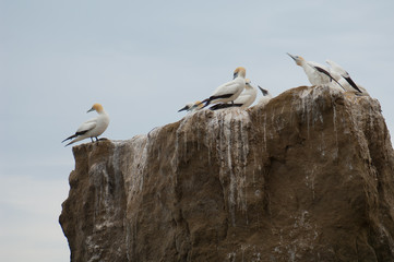 Australasian gannets (Morus serrator). Black Reef Gannet Colony. Cape Kidnappers Gannet Reserve. North Island. New Zealand.