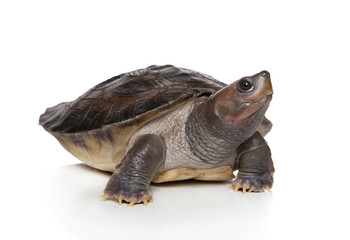 Tortoise on white background
