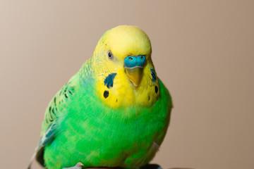 green yellow male budgerigar
