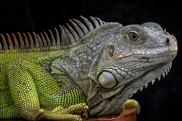 Exotic Common Iguana - Reptile Photo Collection Wall mural