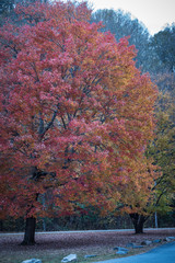 Wall Murals Candy pink tree with red leaves in smoky mountains in autumn