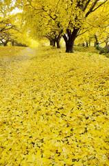 秋イメージ イチョウの黄葉