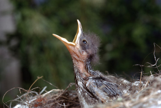 Northern Mockingbird baby in bird nest (Mimus Polyglottos)