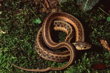 Northwestern Garter Snake (Thamnophis Ordinoides)