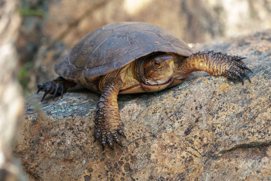 California western pond turtle resting on a large rock.