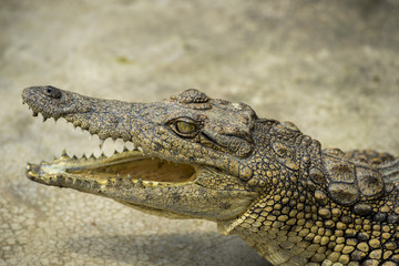 Young Crocodile lying with jaws open in Crocodile Park, Uganda