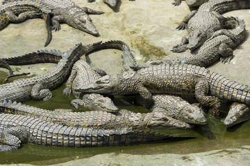 Young Crocodiles resting in water in Crocodile Park, Uganda