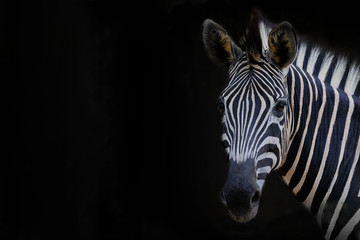 Poster de jardin Zebra Zebra head with black background