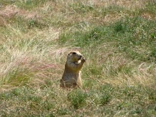 Prairie dog at Devils Tower National Monument, Wyoming, USA