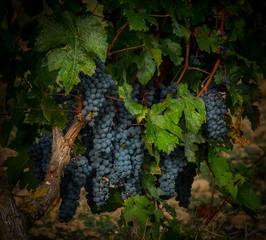 Pied de vigne aux grappes avant la vendange
