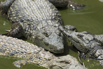Young Crocodile resting in water in Crocodile Park, Uganda
