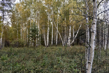 mixed spruce and birch forest in autumn