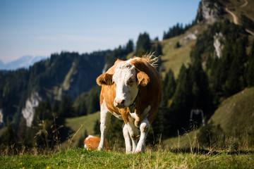 Kuh in den Bergen von Lenggries