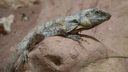 A frilled-necked lizard at the zoo in Antwerp.