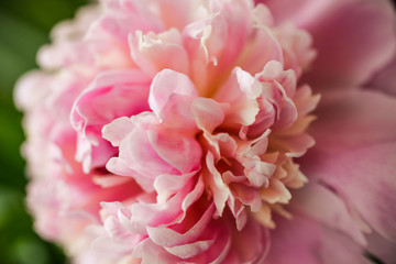 Blurred pink peony petals closely in soft light. Blossoming peony macro for prints, posters, design, covers, wallpapers, birthday cards. Nice garden flower. Spring and summer plants. Artistic photo