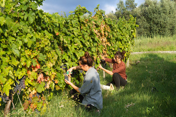 girls cutting the grapes during harvesting time