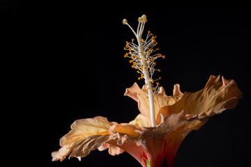 Background Hibiscus Macro