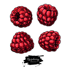 Raspberry vector drawing. Isolated berry sketch on white backgro