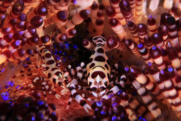Coleman Shrimp Couple (Periclimenes colemani) on a Fire Urchin. Anilao, Philippines