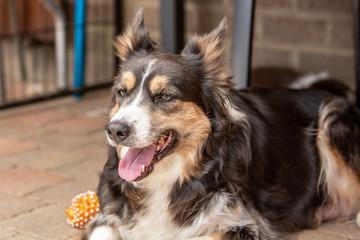 border collie puppy dog living in beligium