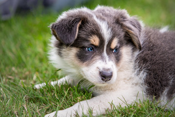 border collie puppy dog living in beligium