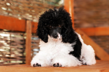 poodle harlequin cute puppy lovely portrait