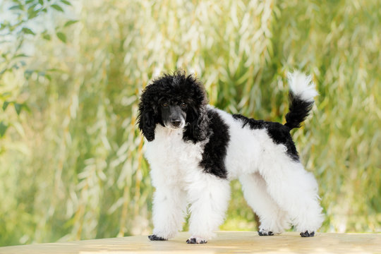 poodle harlequin cute puppy beautiful sunny portrait