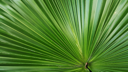Wall Mural - leaf of palm tree background