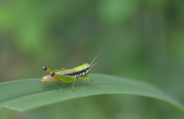 Grasshopper on green grass leaf in a meadow on the background of nature blur.