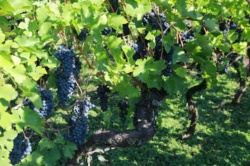 Vineyards, grapevines at the St. Remigius Chapel, Wurmlinger Kapelle, Baden Württemberg, Germany