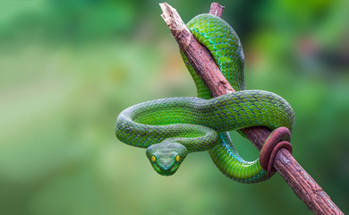 Large-eyed Green Pitviper or Trimeresurus [Cryptelytrops] macrops Krammer or Green pit vipers or Asian pit vipers, green snake on branch with green background in Thailand. Wall mural