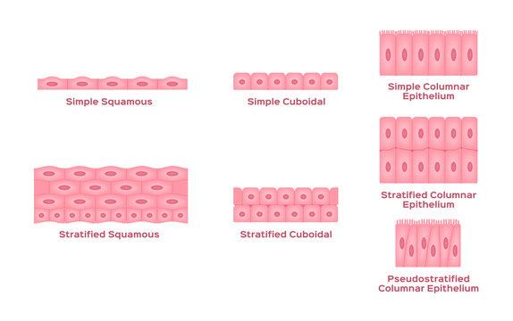 Epithelial tissue vector / cell
