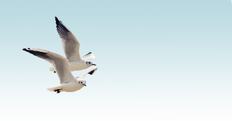 Birds of the seagull in flight.