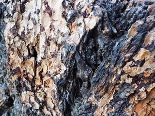 black-brown pine bark
