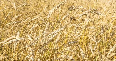 Ripe yellow wheat stalks in a field background texture. Golden wheat field ready for harvest in summer