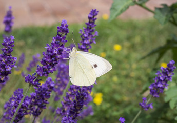 the large white cabbage butterfly, cabbage white, sitting on lavender, Lavandula angustifolia, sucking nectar, green bokeh background, selective focus