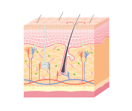 Structure in the skin_no notation