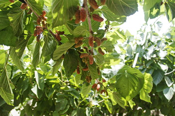 photo of mulberry berries on bushes, varying degrees of maturity